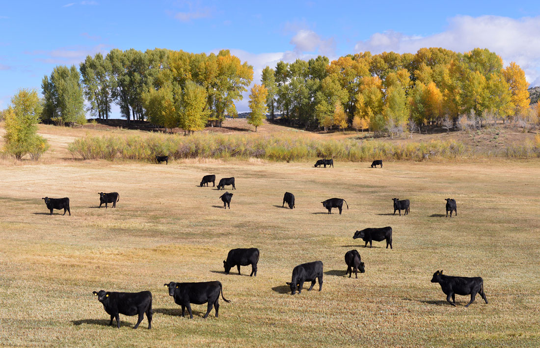 The Fall – Angus Cattle Picture